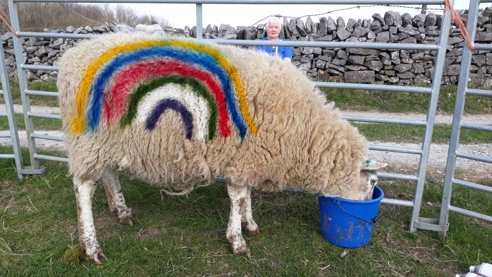 Buttercup the hungry sheep