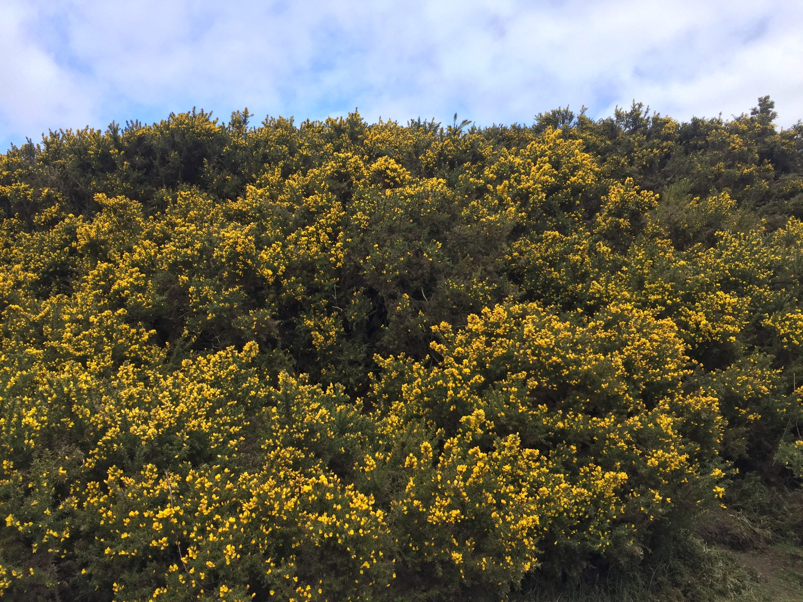 Gorse near Curlew Cottage- walk to the Barrel Inn
