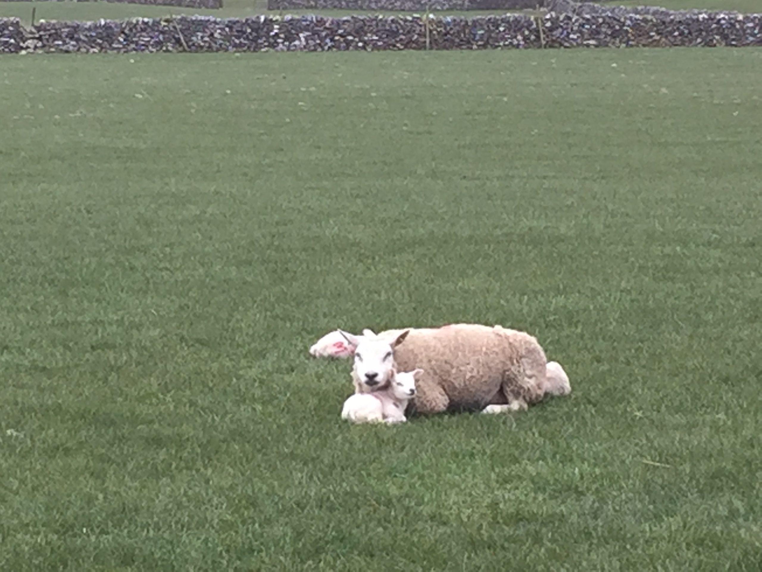 Beautiful Lamb